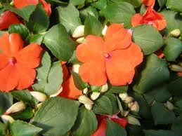 Impatiens Dazzler Orange
