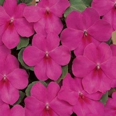Impatiens Dazzler Lilac Splash