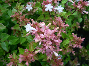 abelia x 'Rose Creek' ROSE CREEK ABELIA