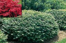 Load image into Gallery viewer, euonymus alata 'compacta' COMPACT BURNING BUSH