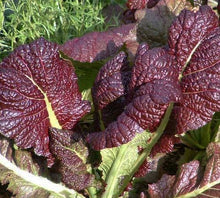 Load image into Gallery viewer, Red Giant Mustard
