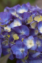 Load image into Gallery viewer, hydrangea macrophylla 'bloomstruck' ENDLESS SUMMER BLOOMSTRUCK HYDRANGEA
