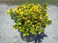 Load image into Gallery viewer, euonymus japonica 'aureo-marginata' GOLDEN EUONYMUS