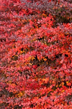 Load image into Gallery viewer, berberis thunbergii 'gentry cultivar' ROYAL BURGUNDY BARBERRY
