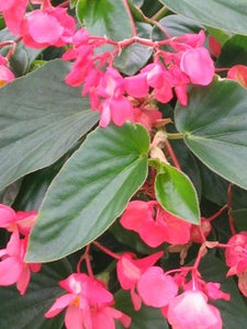 Pink Begonia Dragon Wing