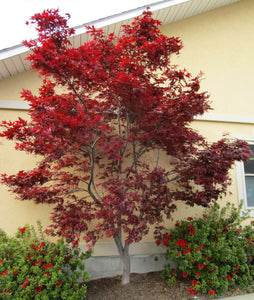 Japanese Maple Emperor I