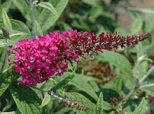 Load image into Gallery viewer, buddleja davidii 'miss ruby' BUTTERFLY BUSH