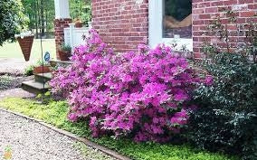 azalea x 'encore' AUTUMN ROYALTY