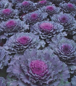 Osaka Red Cabbage