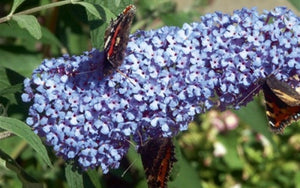 buddleia buzz 'sky blue' BUTTERFLY BUSH SKY BLUE