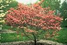 Cornus florida 'Red' RED FLOWERING DOGWOOD