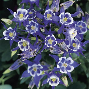 Aquilegia Winky Single Blue and White