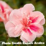 Load image into Gallery viewer, azalea x 'encore' AUTUMN BELLE