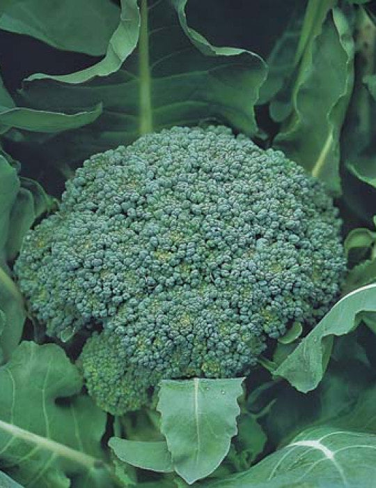 Broccoli Marathon