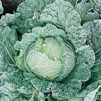 Cabbage Savoy King