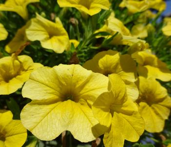 Calibrachoa Lia Yellow