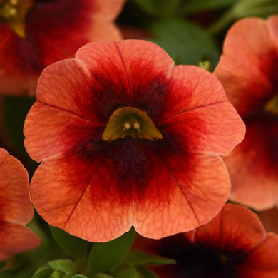Calibrachoa MiniFamous Neo Lava Red Eye