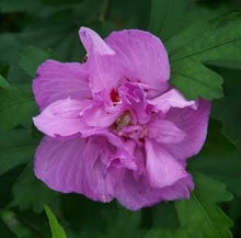 Load image into Gallery viewer, hibiscus syriacus 'Ardens' DOUBLE PURPLE ALTHEA