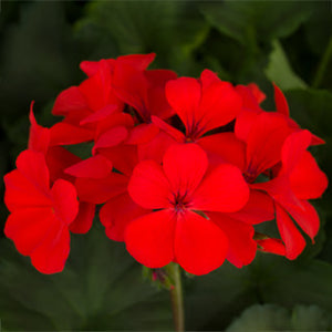 Geranium Caliente Orange