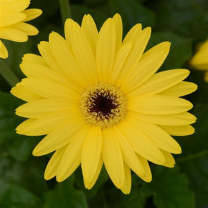 Gerbera ColorBloom Yellow w/Dark Eye