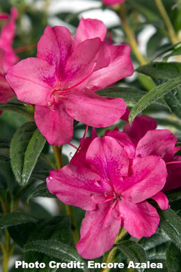 azalea x 'encore' AUTUMN JEWEL
