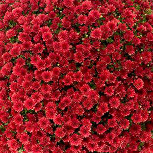 "Mum Red 10"" size"