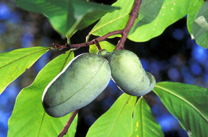 Paw Paw Native Tree