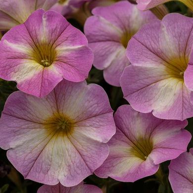 Calibrachoa SuperCal Lavender Star
