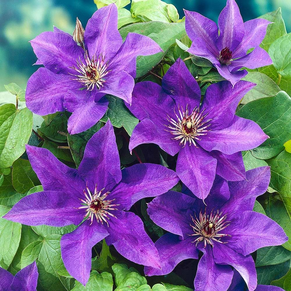 clematis x 'The President' CLEMATIS THE PRESIDENT