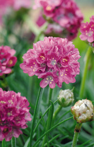 Armeria Morning Star Deep Rose