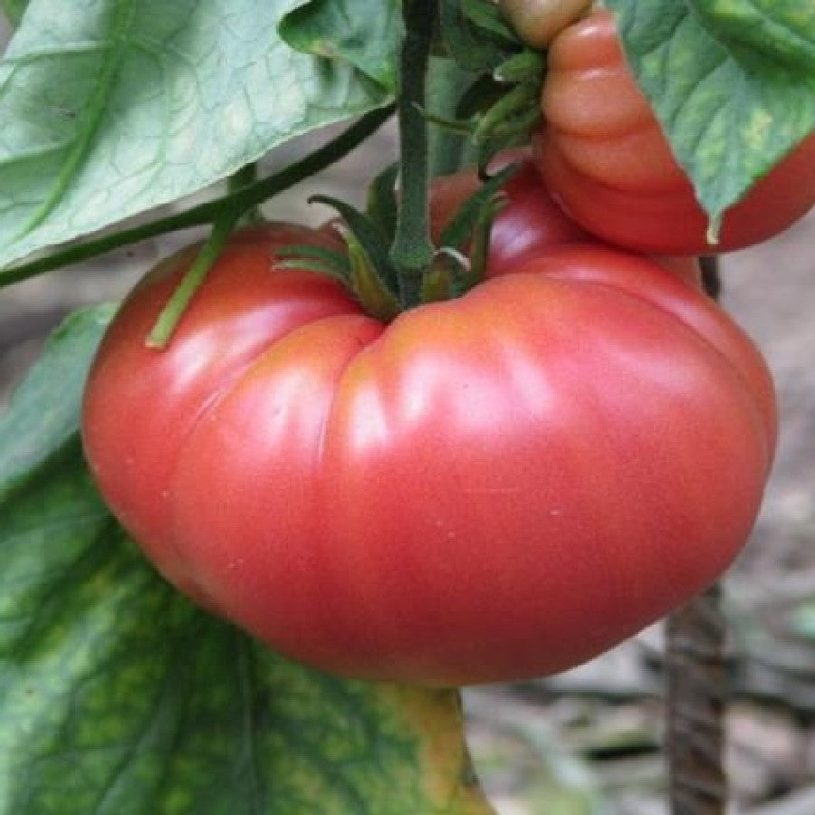 Tomato German Johnson