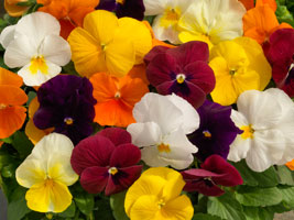Viola Colormax Mix
