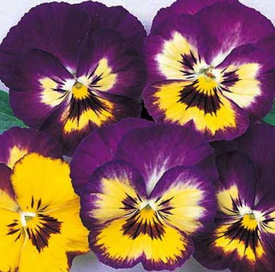 Viola Colormax Lemonberry Pie