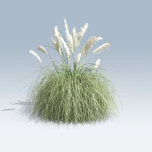 Load image into Gallery viewer, `cortaderia selloana PAMPAS GRASS