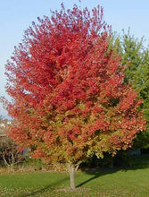 Load image into Gallery viewer, acer rubrum 'autumn blaze' AUTUMN BLAZE RED MAPLE