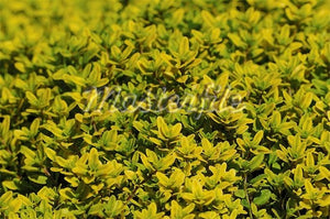 Golden Lemon Thyme