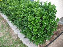 Load image into Gallery viewer, ilex cornuta 'burfordii nana' DWARF BURFORD HOLLY