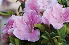 Load image into Gallery viewer, azalea x 'encore' AUTUMN SWEETHEART