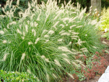 Load image into Gallery viewer, pennisetum alopecuroides 'hameln' DWARF FOUNTAIN GRASS