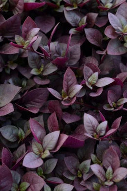 Alternanthera Purple Prince