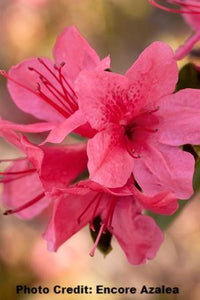 azalea x 'encore' AUTUMN CHEER