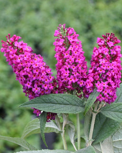 buddleja davidii 'miss ruby' BUTTERFLY BUSH