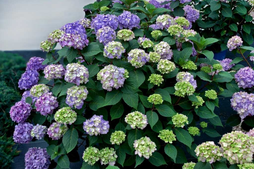 hydrangea macrophylla 'bloomstruck' ENDLESS SUMMER BLOOMSTRUCK HYDRANGEA