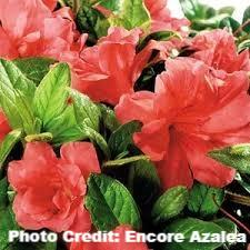 azalea x 'encore' AUTUMN MONARCH