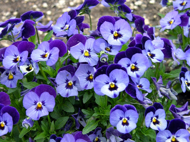 Viola Penny Denim Jump Up