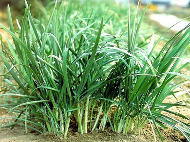 Chives Chinese Broadleaf