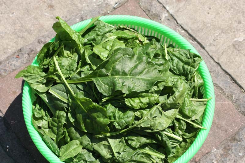 Spinach Imperial Green