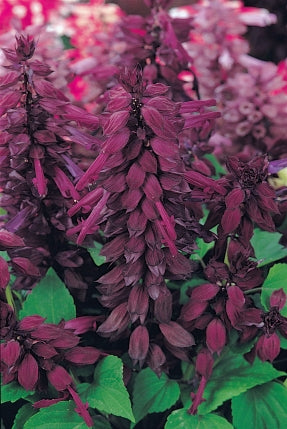 Salvia Vista Purple
