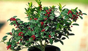 ilex cornuta 'burfordii nana' DWARF BURFORD HOLLY