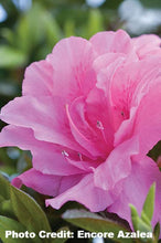 Load image into Gallery viewer, azalea x 'encore' AUTUMN CARNATION